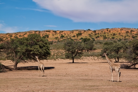 Two giraffe walking in the desert dry landscape with blue sky photo