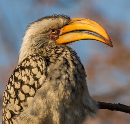 hornbill: Yellow billed hornbill sitting on branch with blue sky portrait