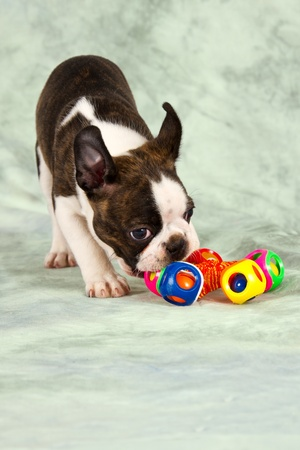 Boston terrier puppy play with colourful toy peaceful Stock Photo - 21261184