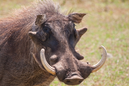 Warthog with big tusks and hairy face close-up in sunlight Stock Photo