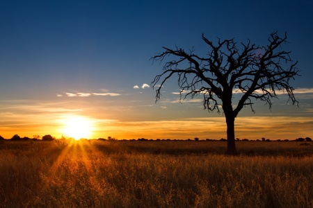 kalahari desert: Lovely sunset in Kalahari with dead tree and bright colours