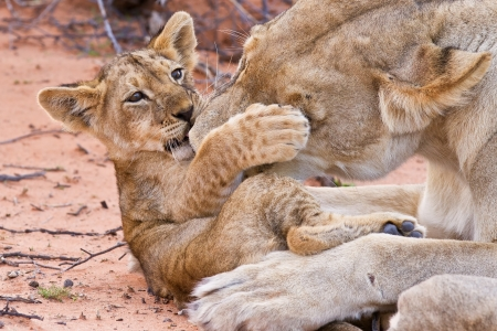 baby animals: Lion cub play with mother on sand with love