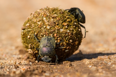 Dung beetles rolling their ball with eggs inside to bury Stock Photo