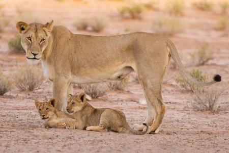 カブスのライオンとは、家族の一員としてカラハリの砂の上で再生します。 写真素材 - 21709846