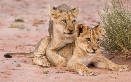 Two cute lion cubs playing on sand in the Kalahari closeup