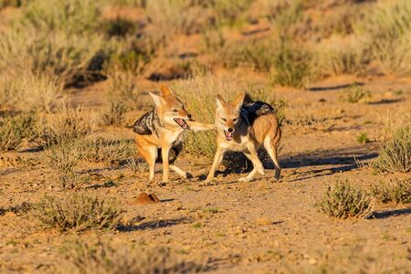 food fight: Pair of jackal fight over food in the Kalahari