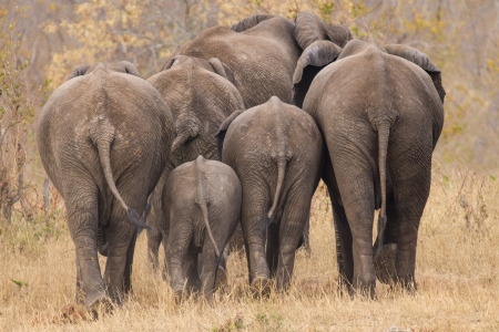 Breeding herd of rear end elephant walking away int the trees