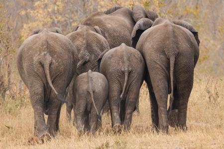 Fokken kudde achterkant olifant weglopen int de bomen Stockfoto