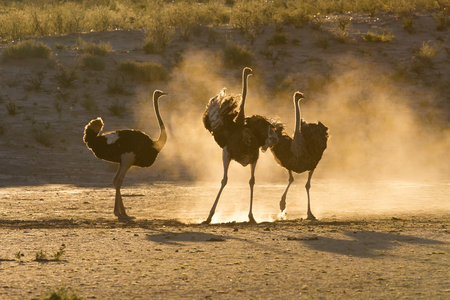 Three ostriches in the Kalahari with dust backlit late afternoon Stock Photo