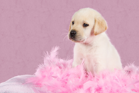 labrador puppy: Tired Labrador puppy sit on pink feathers pattern  Stock Photo