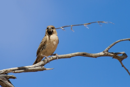 sociable: Sociable weaver sitting on a dry branch with a piece of grass in his beak