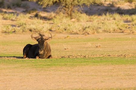 Lone blue wildebeest resting on a pan in the kalahari with short green grass photo