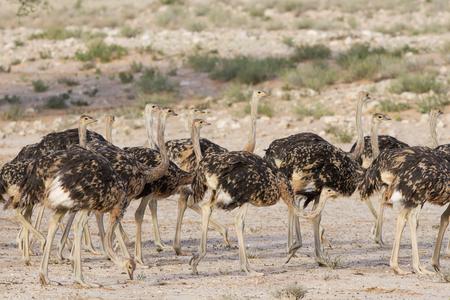 Flock of juvenile ostriches in the kalahari desert photo