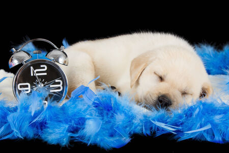 Labrador puppy sleeping on blue feathers with alarm clock ready to ring photo