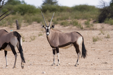 grazer: Herd of oryx standing on a dry plain looking in the hot sun Stock Photo