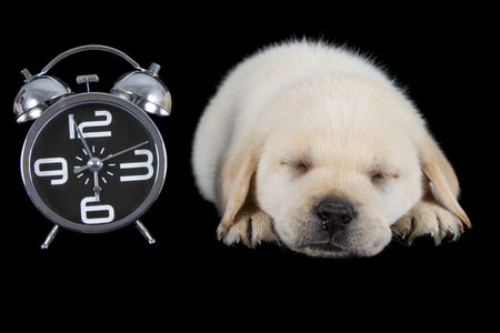 Labrador puppy sleeping on black with alarm clock ready to ring photo