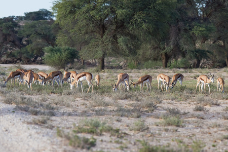 Herd of springbok grazing in the kalahari desert on green grass photo