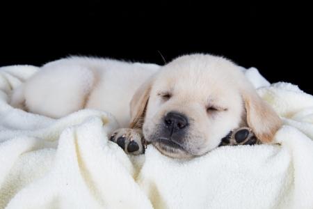 Cucciolo labrador dorme su bianco soffice coperta in studio Archivio Fotografico - 24230902