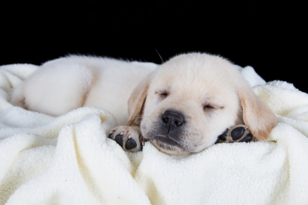 Puppy labrador sleeping on white fluffy blanket in studio