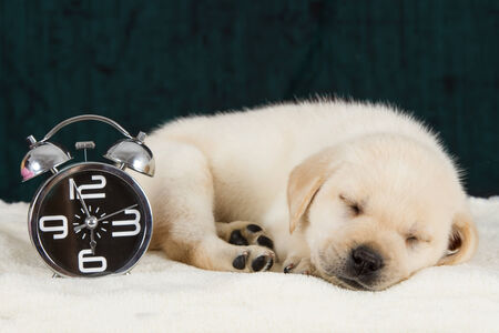 Labrador puppy sleeping on blanket with alarm clock ready to ring photo