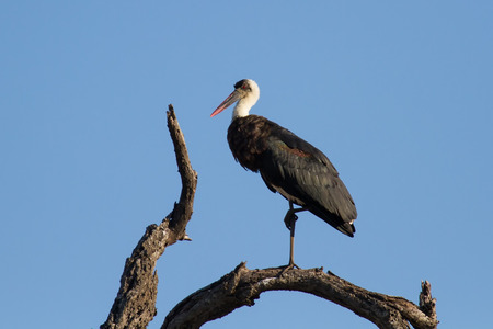 Wool neck stork sitting and grooming himself on a dry branch and blue sky