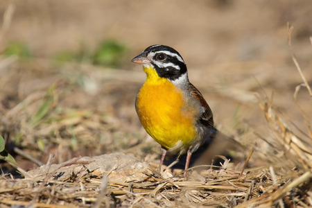 south african birds: Golden-breasted bunting with lovely colours looking for food on the ground Stock Photo