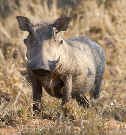 bush hog: Jabal� gordo que se coloca en la hierba seca mirando hacia fuera para el peligro Foto de archivo