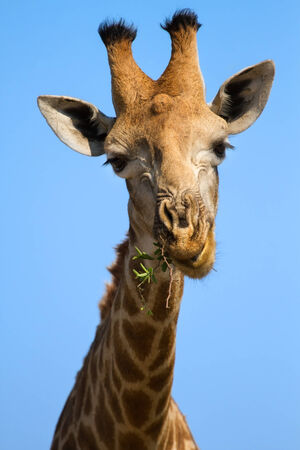nostril: Portrait close-up of giraffe head against a blue sky chew and eating