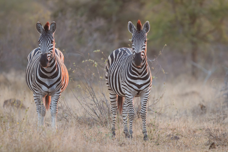 Two zebra standing in grass at sunset with sinlight from the side in winter