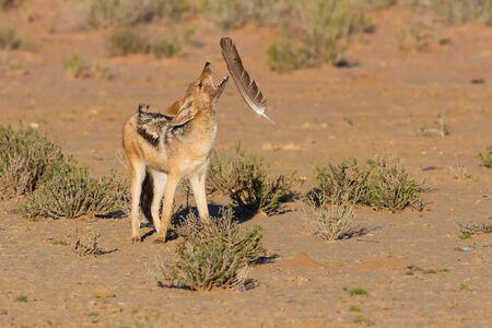 One Black backed jackal play with large feather in a dry desert having fun photo