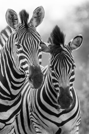 zebra head: Zebra mare and foal standing close together in the bush for safety artistic concersion Stock Photo
