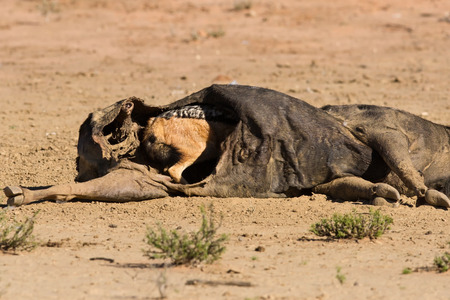 scavenging: Hungry Black backed jackal eating on a hollow carcass in the dry desert Stock Photo