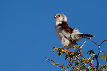 pigmy: Pigmy falcon sit in thorn tree with bright blue sky beautiful tiny bird