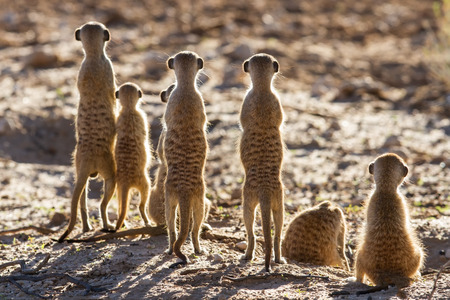 small group of animals: Suricate family standing in the early morning sun back lit looking for possible danger Stock Photo