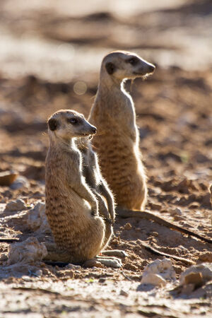 Suricate family standing in the early morning sun back lit looking for possible danger photo