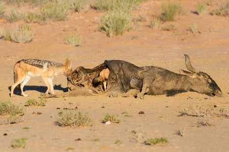 Hungry Black backed jackal eating on a hollow carcass in the dry desert with mate photo