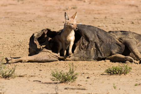 Hungry Black backed jackal eating on a hollow carcass in the dry desert photo