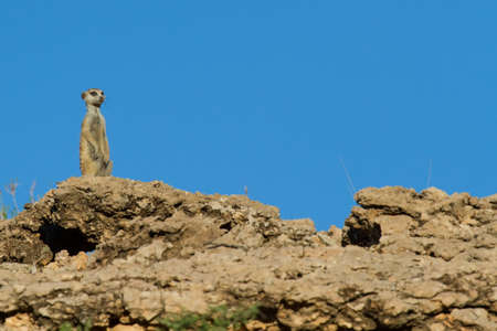 gaurd: Suricate sentry standing in the early morning sun blue sky looking for possible danger