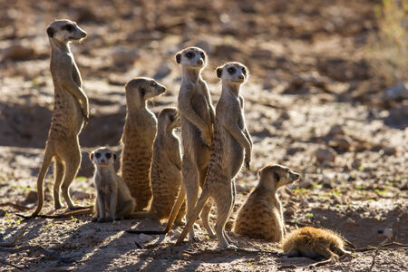 gaurd: Suricate family standing in the early morning sun back lit looking for possible danger Stock Photo
