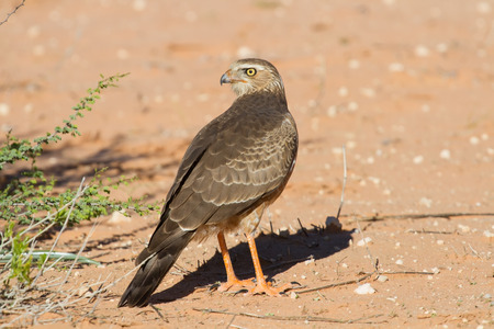Juvenile Gabar Goshawk standing on the dry red Kalahari sand searching for prey