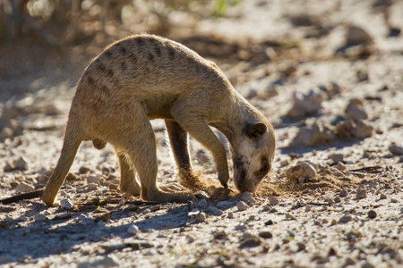 insectivores: Suricate dig for food in desert sand during early morning sun back lit Stock Photo