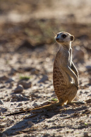 gaurd: Suricate sentry standing in the early morning sun back lit looking for possible danger