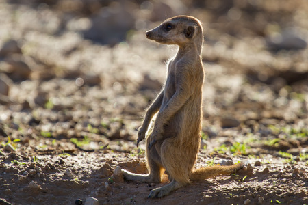 sentry: Suricate sentry standing in the early morning sun back lit looking for possible danger
