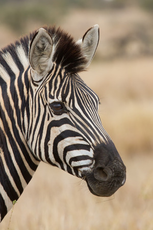 Zebra portrait in nature with lovely detail soft light
