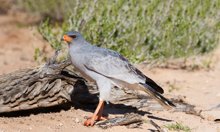 Pale Chanting Goshawk feeding on red sand dune among dry grass in the Kalahari (Melierax canorus)