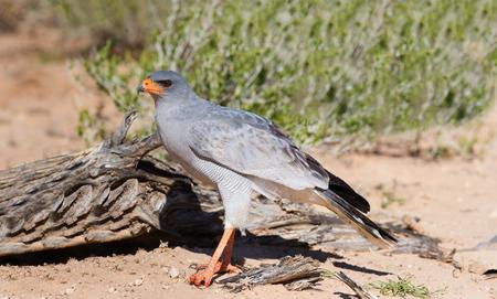 chanting: Pale Chanting Goshawk feeding on red sand dune among dry grass in the Kalahari (Melierax canorus)