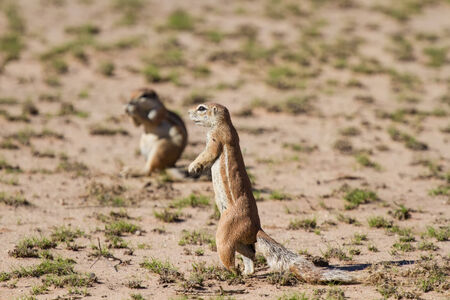Cute ground squirrel searching for food in the dry Kgalagadi desert  photo