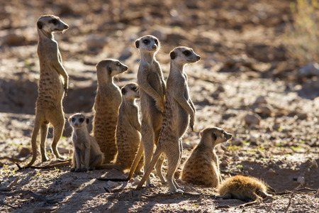 Suricate family standing in the early morning sun back lit looking for possible danger Stock Photo