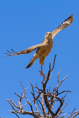 Juvenile pale chanting goshawk takes off from hunting tree perch in the Kalahari (Melierax canorus)