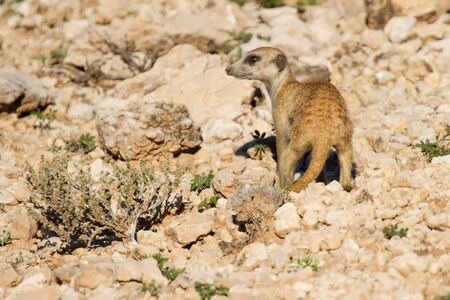 burrows: Suricate dig for food in desert sand during early morning sun back lit Stock Photo